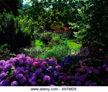 Creagh, Baltimore, Co Cork, Ireland; Blue Hydrangea - Stock Photo