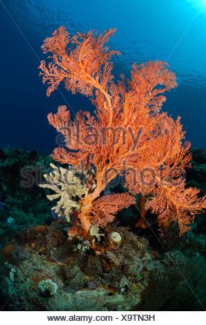 Sea Fan in Coral Reef, Melithaea sp., Alor, Indonesia - Stock Photo