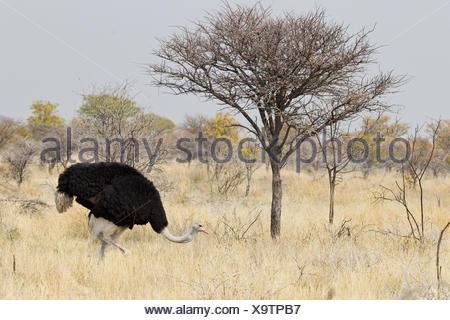 bird, africa, namibia, birds, ostrich, nosegay, bird, namibia, birds, brood, - Stock Photo