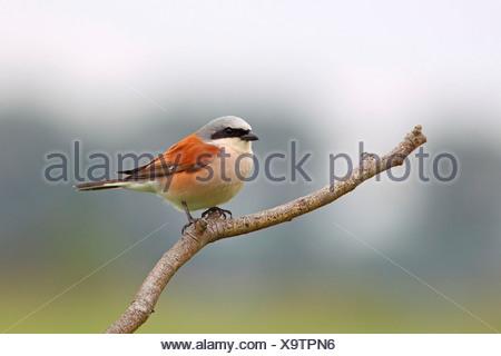 Red-backed Shrike (Lanius collurio), male, perched on branch, Illmitz, Burgenland, Austria - Stock Photo