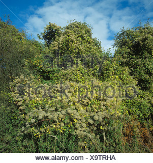 Travellers joy Clematis vitalba in seed covering a hedgerow in autumn Hampshire - Stock Photo