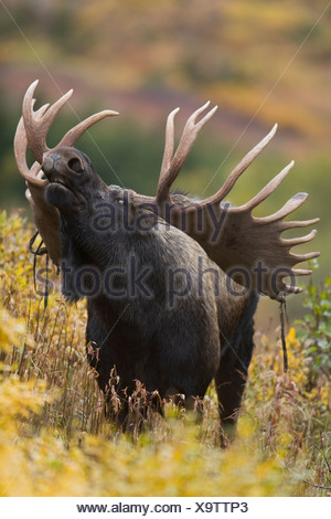 Moose bull showing a flehmen response (lip curl) during rut in Autumn, Powerline Pass, Chugach State Park, Alaska - Stock Photo