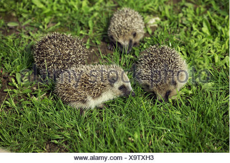 EUROPEAN HEDGEHOG erinaceus europaeus, YOUNGS - Stock Photo
