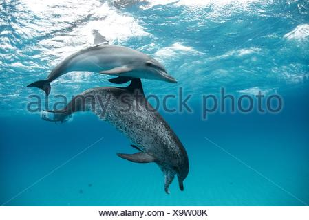 Atlantic spotted dolphin (Stenella frontalis), swimming underwater, close-up, Bahamas