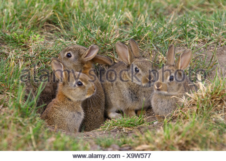 European rabbit (Oryctolagus cuniculus), young rabbits at den, Austria, Burgenland - Stock Photo