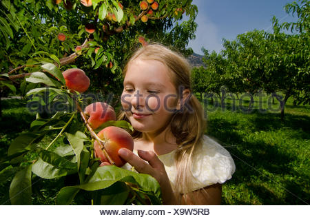 Young girl picking summersoaked peaches from the trees in the orchards of Harker's Organics, in Cawston, British Columbia, - Stock Photo