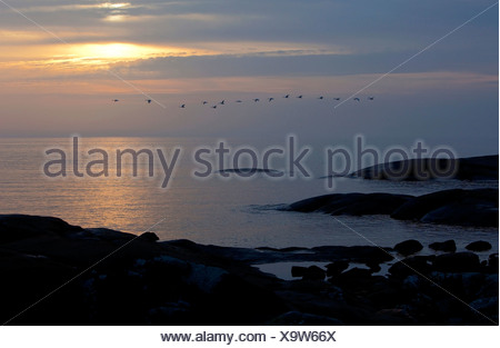 Silhouette flying swans over peaceful sea against the evening sky in Bohuslän, Sweden - Stock Photo