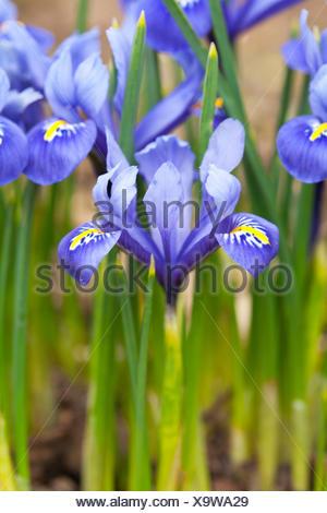 Iris 'Harmony' - Stock Photo