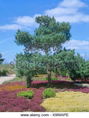 Scotch pine, scots pine (Pinus sylvestris 'Glauca', Pinus sylvestris Glauca), cultivar Glauca - Stock Photo