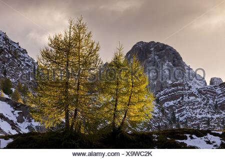 European Larch (Larix decidua) habit with needles in autumn colour backlit at dawn Passo di Valles Dolomites Italian Alps Italy - Stock Photo