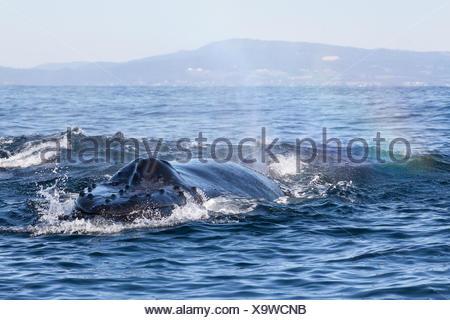 A humpback whale, Megaptera novaeangliae, surfacing. - Stock Photo