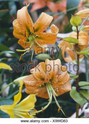 Lilium henryi AGM   BUL028227 - Stock Photo