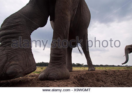 African elephant (Loxodonta africana) close-up. Masai Mara National Reserve Kenya. Taken remote wide angle camera. - Stock Photo