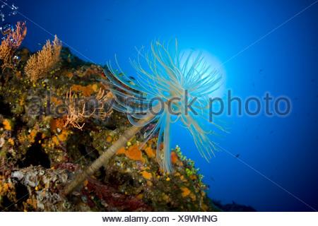 Tube Worm in Coral Reef, Sabella spallanzani, Ponza, Mediterranean Sea, Italy - Stock Photo