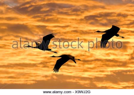 Sandhill cranes (Grus americana), central Florida, U.S.A. - Stock Photo