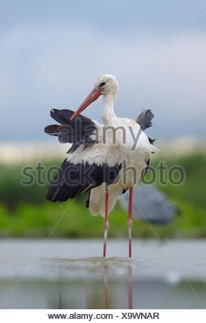 White Stork (Ciconia ciconia) standing in shallow water preening, Kiskunság National Park, Hungary - Stock Photo