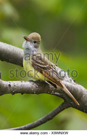 Great-crested Flycatcher (Myiarchus crinitus) perched on a branch near Long Point, Ontario, Canada - Stock Photo
