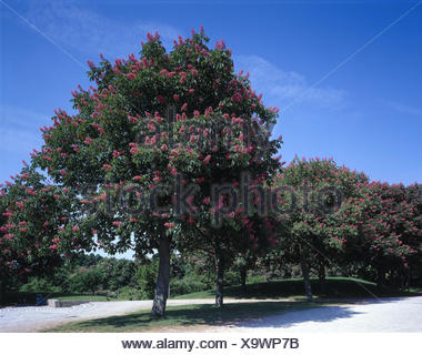 Germany, Bavaria, Munich, west park, red-blossoming horse chestnuts, Aesculus pavia Upper Bavaria, park, park, chestnut tree, Aesculus carnea, tree, plant, red-blossoming, blossoms, red, chestnut blossom, spring, nature - Stock Photo