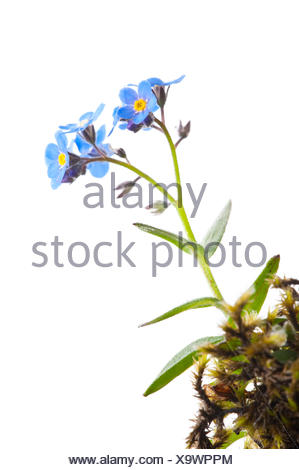 Alpine Forget-me-not (Myosotis alpestris) in flower,  Scotland, UK - Stock Photo