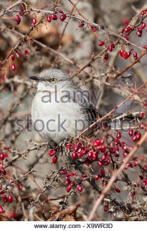 Northern Mockingbird (Mimus polyglottos) on an ornamental Red Barberry shrub, Scarborough Bluffs, Toronto, Ontario - Stock Photo