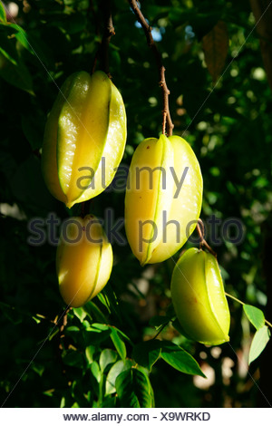 Woman harvesting starfruit (Averrhoa carambola) at an Ursuline convent and orphanage in Georgetown, Guyana, South America - Stock Photo