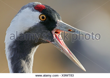 Common Crane portrait, Lake Hornborgasjoen, Sweden - Stock Photo