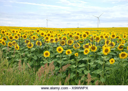 common sunflower (Helianthus annuus), sunflower field with wind turbines in the backgrund, Germany - Stock Photo