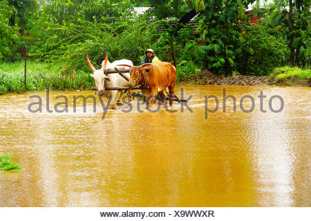 Farmer working in paddy field, full with muddy water with pair of oxen, near Lavasa, Pune - Stock Photo