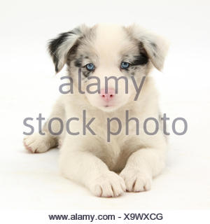 Merle Border Collie puppy, 6 weeks, lying with head up. - Stock Photo