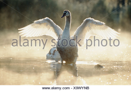 Cygnus olor / mute swan - young , shaking its wings in water - - Stock Photo