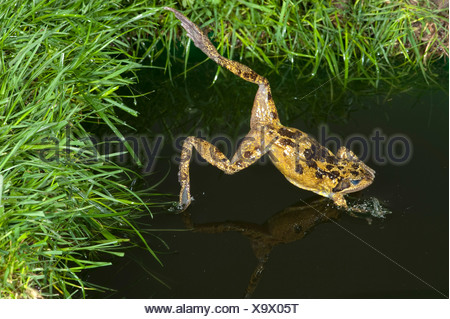 Common Frog Rana temporaria leaping into pond UK - Stock Photo