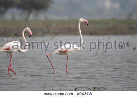Pair of Greater Flamingo, Phoenicopterus roseus, Ujjani Dam backwaters, Bhigwan, Maharashtra, India - Stock Photo