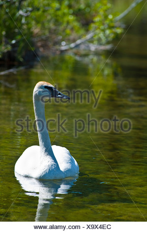 Close up of a trumpeter swan swimming in Byers Lake, Denali State Park, Southcentral Alaska, Summer - Stock Photo