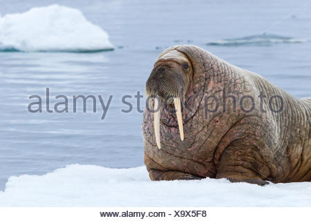 Atlantic walrus (Odobenus rosmarus rosmarus), resting on ice floe, Svalbard Archipelago, Arctic Norway. - Stock Photo