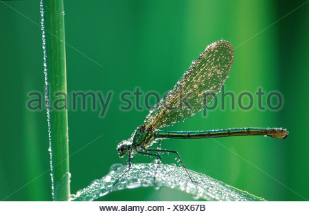 Banded Blackwings / Banded Agrion - Stock Photo