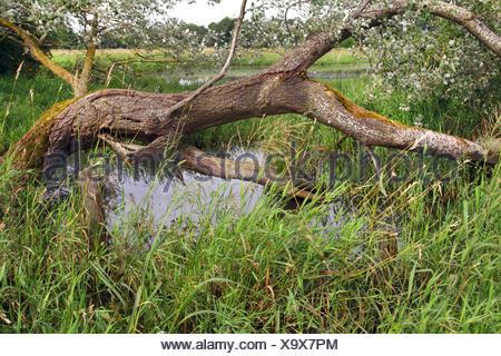 wetland with dead tree, Germany, North Rhine-Westphalia, Muensterland - Stock Photo