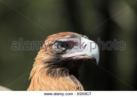 wedge, eagle, berry, portrait, keilschwanzadler, tailed, australien, - Stock Photo