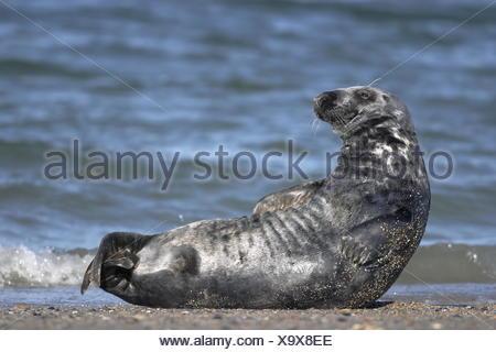 Kegelrobbe - Halichoerus grypus - Gray Seal - Stock Photo