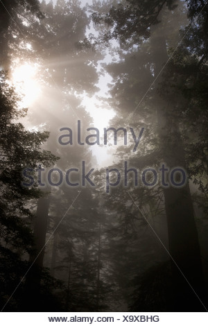 Sunlight streaming through trees in a misty forest - Stock Photo