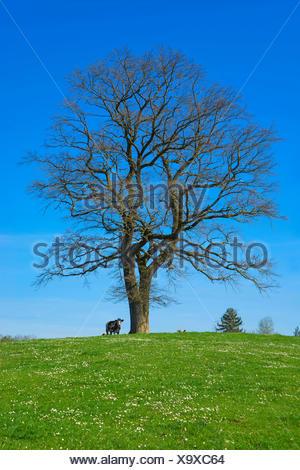 oak (Quercus spec.), leafless single tree in a pasture, Germany, Bavaria, Oberbayern, Upper Bavaria - Stock Photo