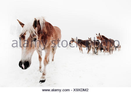 Picture serial of a group of Haflinger horses and a pony during it is snowing in white mountain landscape - Stock Photo
