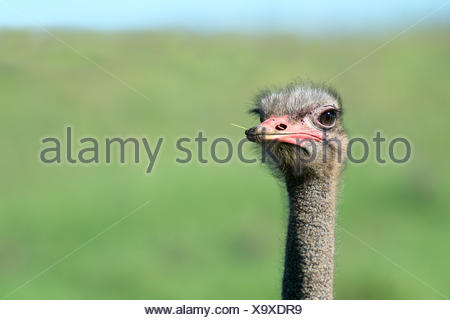 South Africa, Eastern Cape, Western District, Addo Elephant National Park, close-up of an African ostrich, African ostrich - Stock Photo