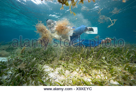 Philippine diver harvesting seaweed. Using a T-Shirt on his head as sun protection, Philippines, Pacific Ocean, Southeast Asia - Stock Photo