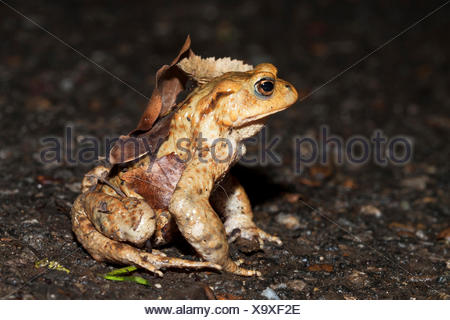 Common Toad (Bufo bufo) during the annual migration, Kirchheim unter Teck, Baden-Württemberg, Germany - Stock Photo