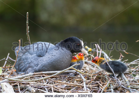 Germany, Bavaria, Eurasian Coot with chicks in nest - Stock Photo