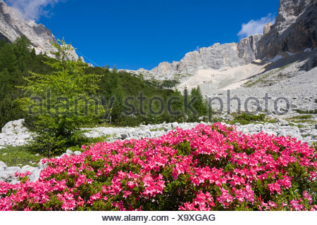 Rhododendrons, Garland Rhododendron, Hairy Alpine-rose, Alpen Rose, Alpine Rose, Alpenrose, Snow-rose (Rhododendron hirsutum) - Stock Photo