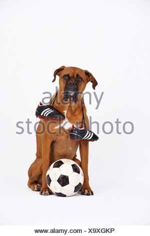 German Boxer as footballer - Stock Photo
