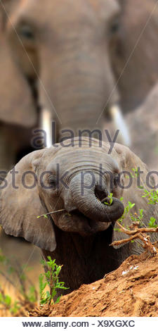 African elephant (Loxodonta africana), baby elephant looks over a small hill, Africa - Stock Photo