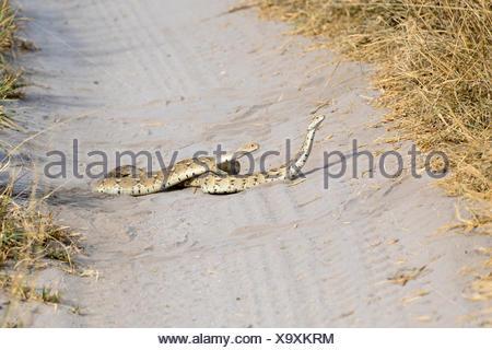 Puff Adder, Central Kalahari Game Reserve, Botswana, Snake, (Bitis arietans) - Stock Photo