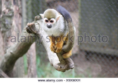 Spider Monkey On Branch Tree In Cage At Zoo - Stock Photo
